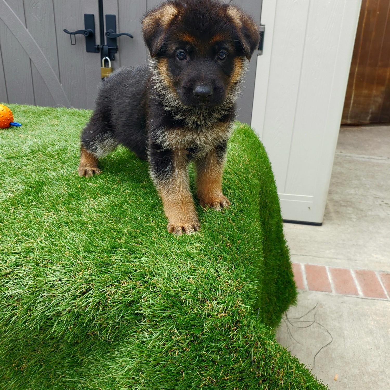 Buy German Shepherd Puppy online In Turkey