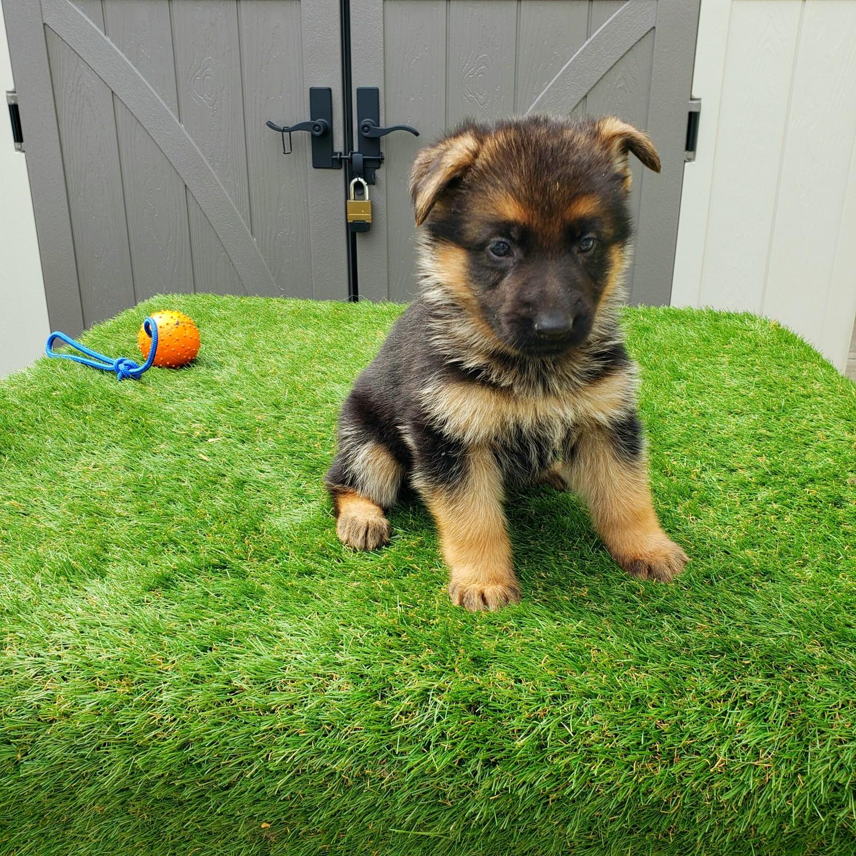 Buy German Shepherd Puppies For Sale In Denmark