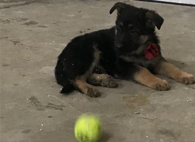 Recklessly: Black German Shepherd Puppies For Sale Craigslist