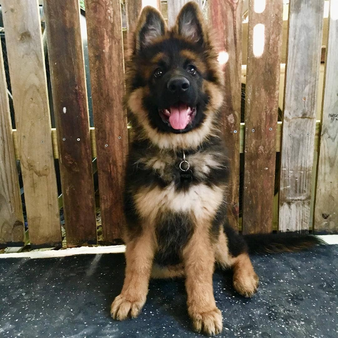 cheap german shepherd puppies german shepherd puppies for sale georgetown de 295304 1265