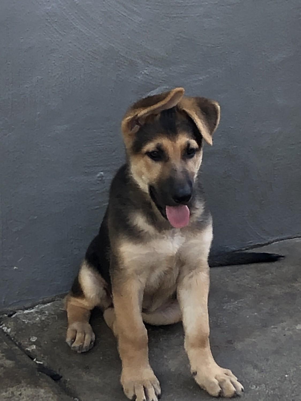 German Shepherd Puppies For Sale San Jose Ca 305827