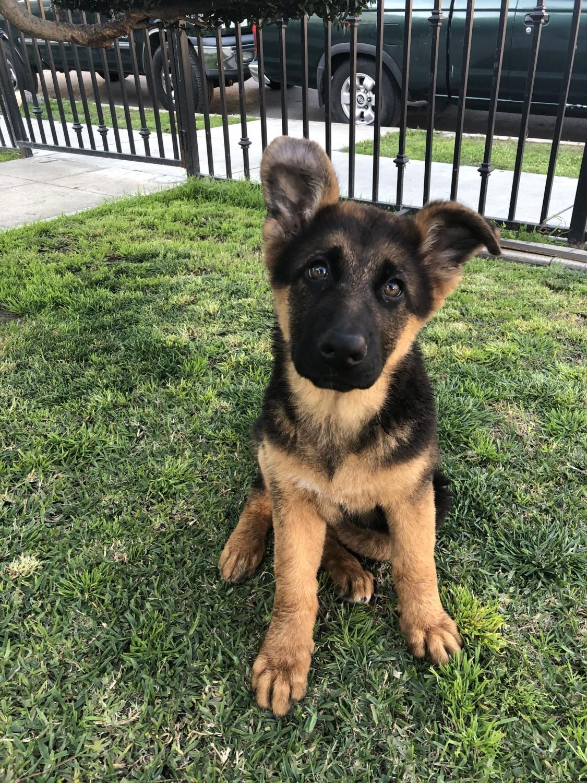 Buy German Shepherd Puppy Online In New South Wales Australia