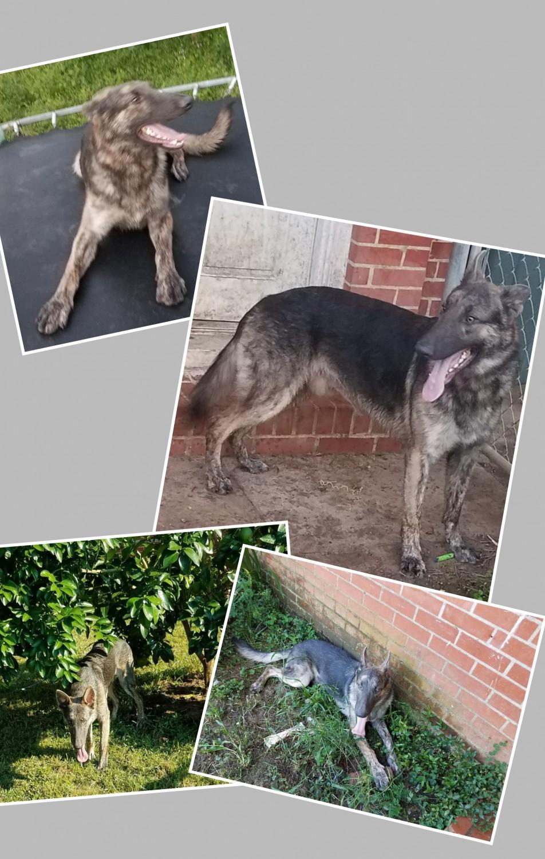 German Shepherd Puppies For Sale Belle Vue Way Fl 323934
