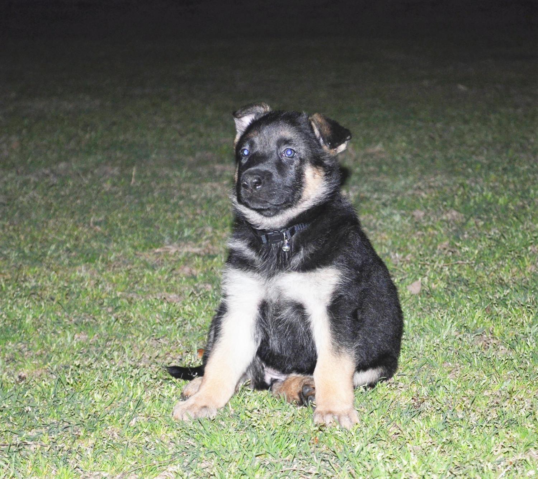 German Shepherd Dog Breed Information Images Characteristics Health