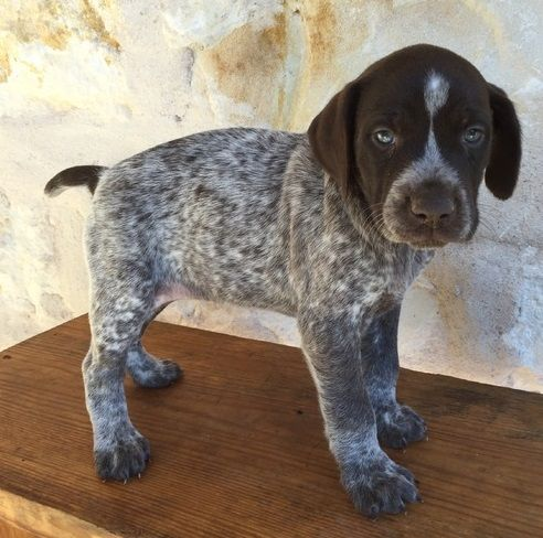 German Shorthaired Pointer Puppies For Sale Adamstown Pa 245292