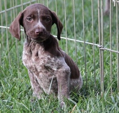 German Shorthaired Pointer Usa German Shorthaired Poi...