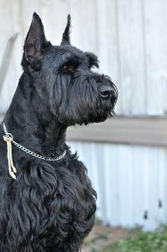 Giant Schnauzer Puppies For Sale   Fayetteville, NC #152517