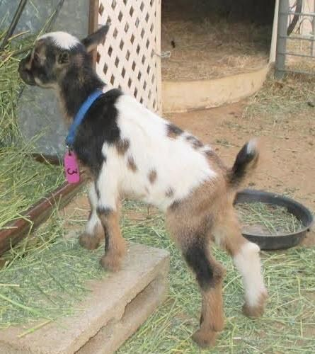 Goat Animals For Sale   Los Angeles, CA #101994   Petzlover