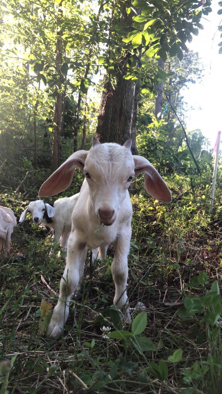 Goat Animals For Sale Yadkin County Nc 299735