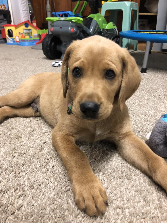 Goldador Puppies For Sale Anaheim Ca 278407 Petzlover