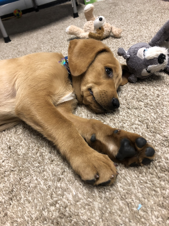 Goldador Puppies For Sale Los Angeles