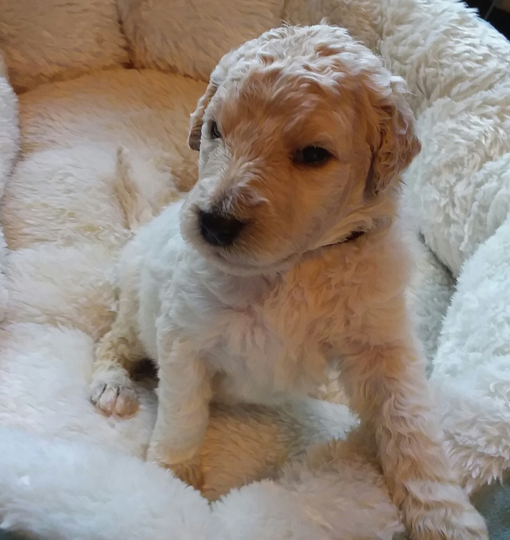 Golden Doodle Puppies For Sale Minneapolis Mn 276378