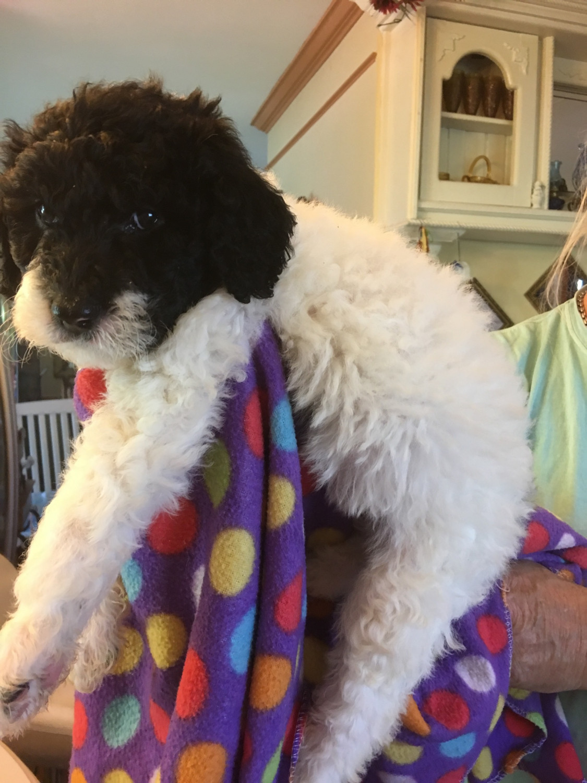Golden Doodle Puppies For Sale Wilmington Nc 282445