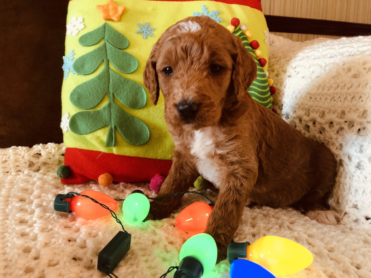 Golden Doodle Puppies For Sale Township Of Taylorsville
