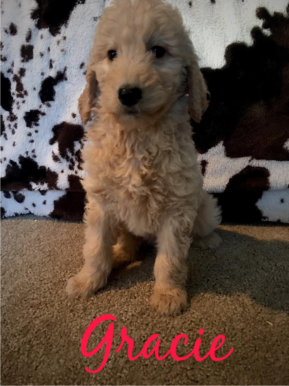 Golden Doodle Puppies For Sale Alma Mi 288762