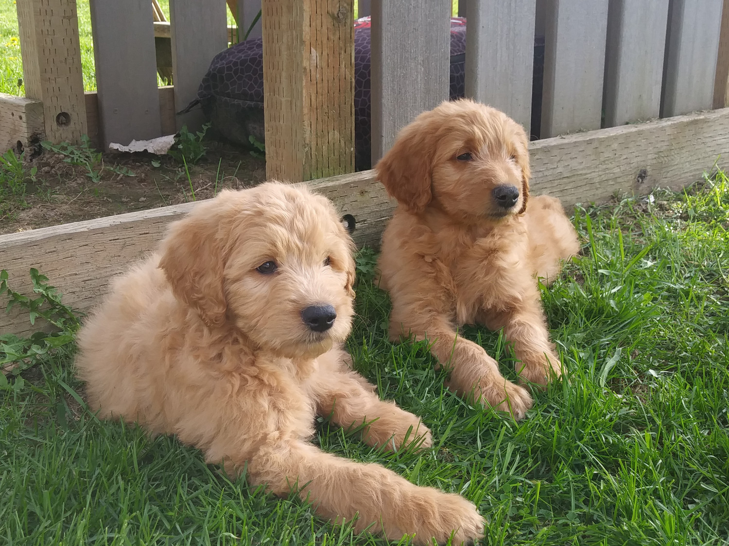 Golden Doodle Puppies For Sale Bonners Ferry Id 297863