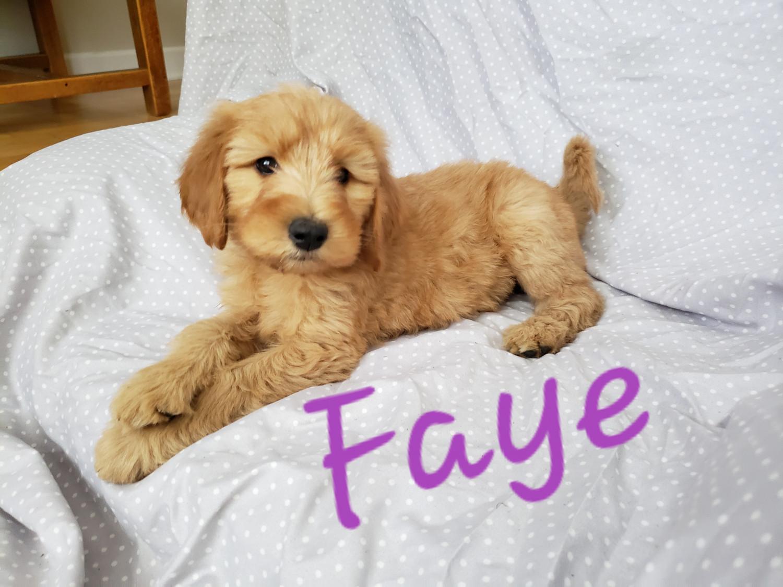 Golden Doodle Puppies For Sale Millersburg In 303328