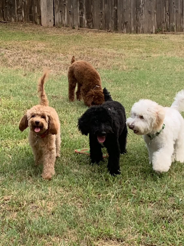 Golden Doodle Puppies For Sale Dallas Tx 309483