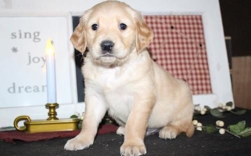 Golden Retriever Puppies For Sale Groton Ct 143250