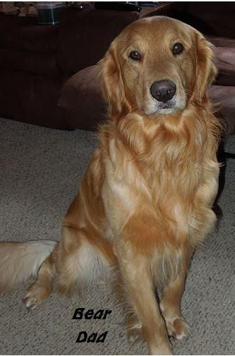 Golden Retriever Puppies For Sale Pittsburgh Pa 155712