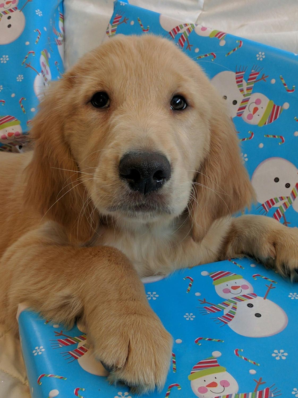 Golden Retriever Puppies For Sale | Fort Gratiot Township ...