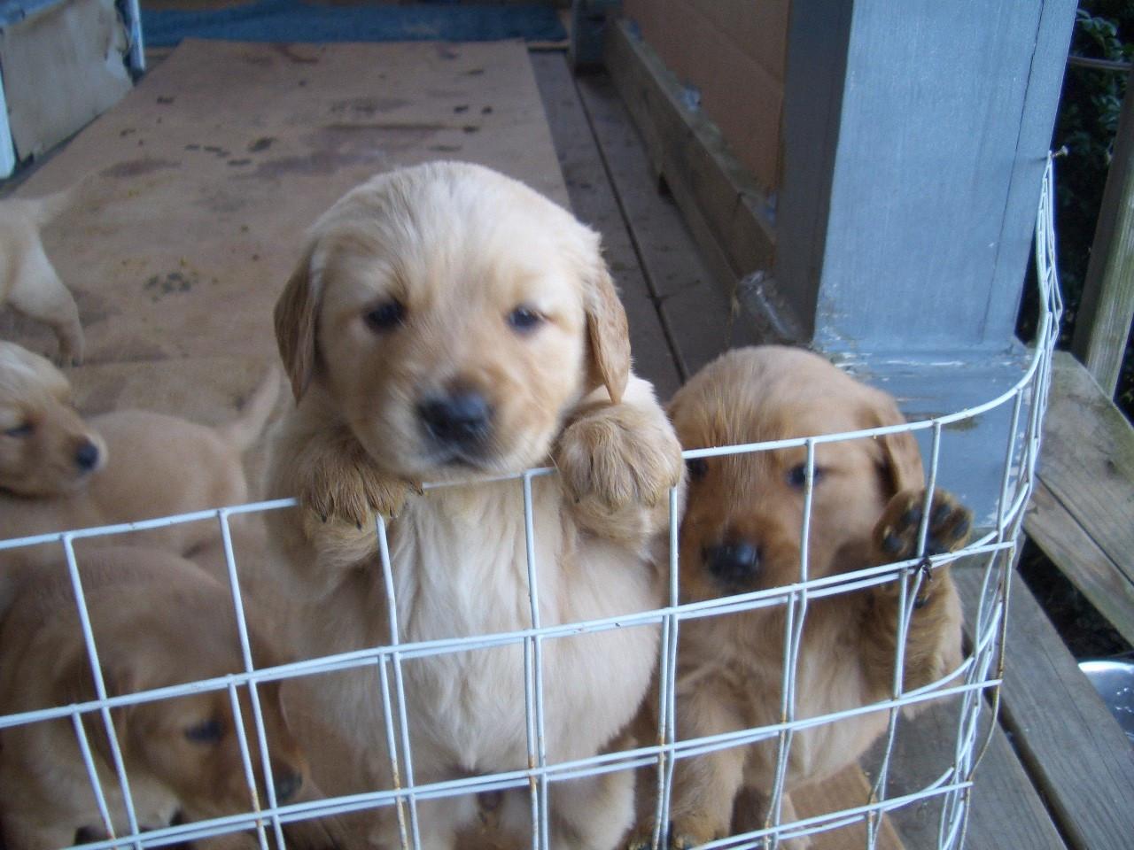Golden Retriever puppy for sale | Czechia