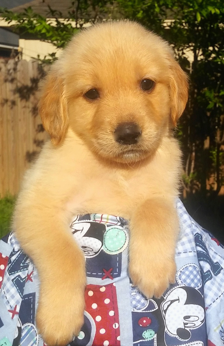 Golden Retriever Puppies For Sale Sugar Land Tx 189454