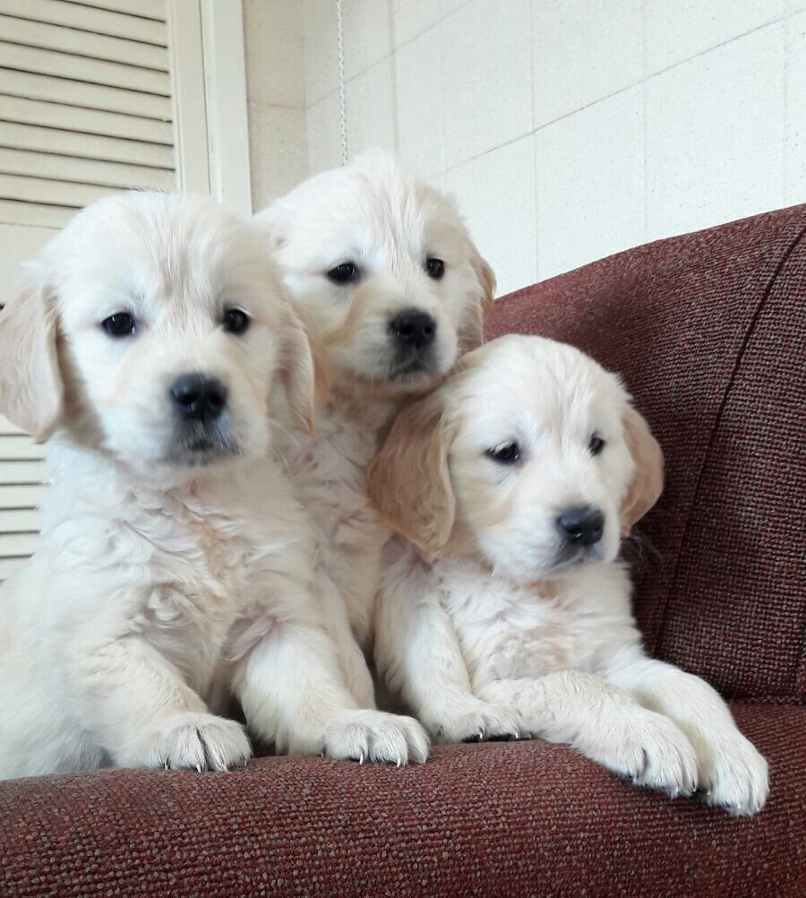 Golden Retriever puppies FOR SALE ADOPTION from South Australia