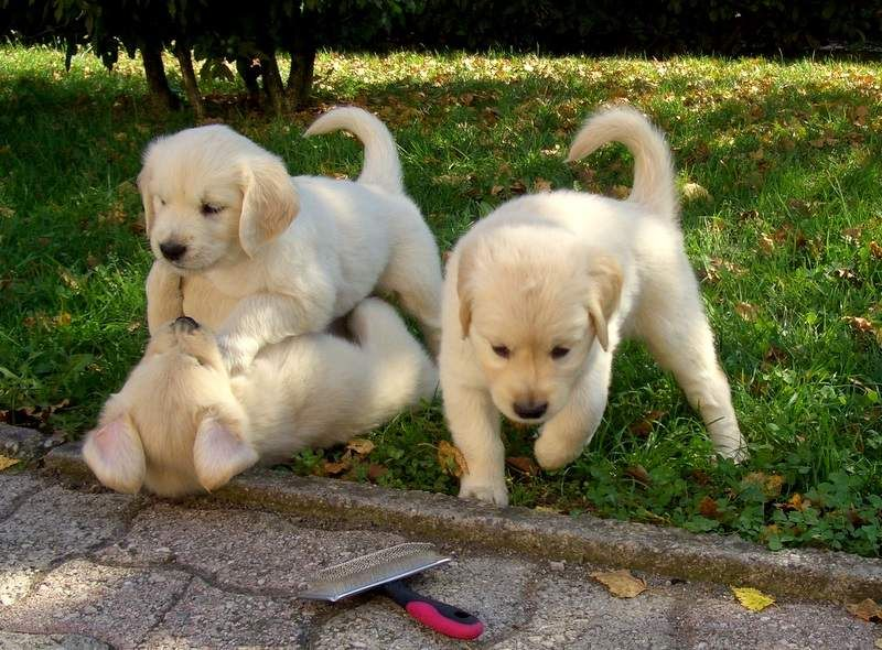 Golden retriever puppies in houston tx
