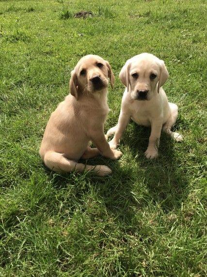 Golden Retriever Puppies For Sale Erie Pa 206890