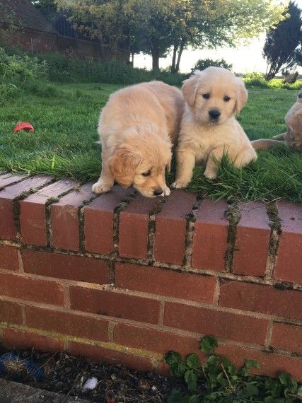 golden retriever mix puppies for sale in michigan golden retriever puppies for sale michigan avenue il 4697