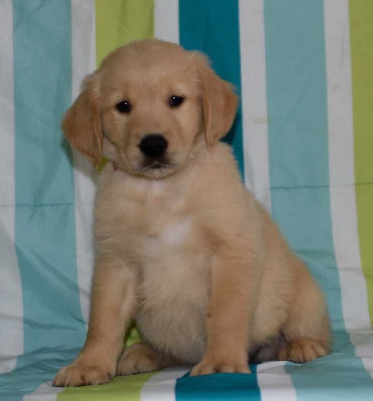 Golden Retriever Puppies For Sale Adell Wi 211150