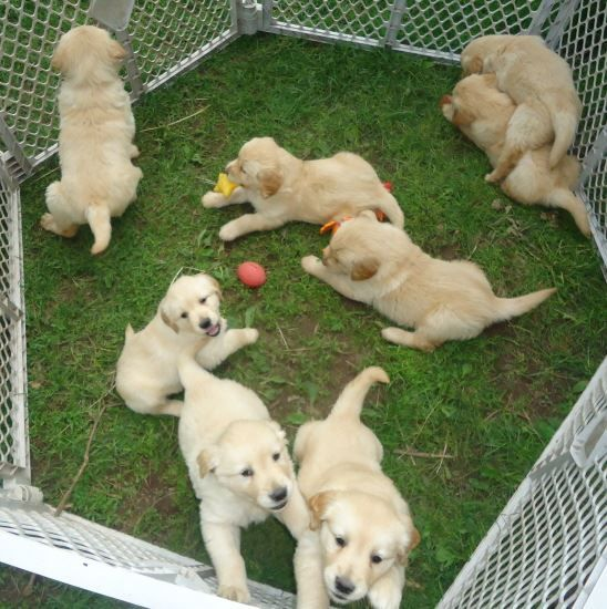 golden retriever puppies denver colorado golden retriever puppies for sale denver co 214002 6507