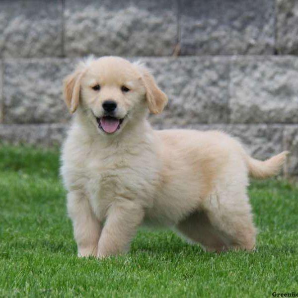 Golden Retriever Puppies For Sale   Jacksonville, FL #222077