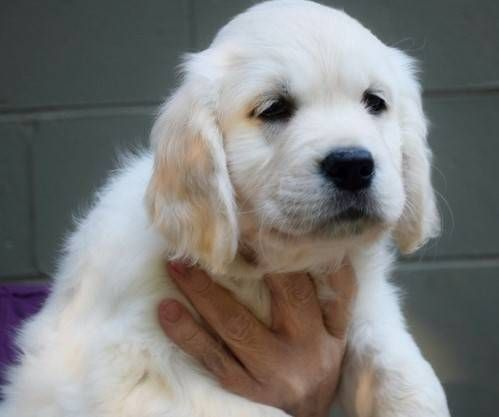 Golden Retriever Puppies For Sale Manchester Nh 225147