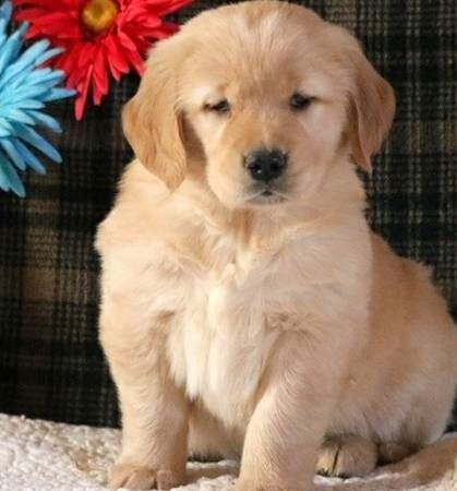 Golden Retriever Puppies For Sale Los Angeles Ca 236946