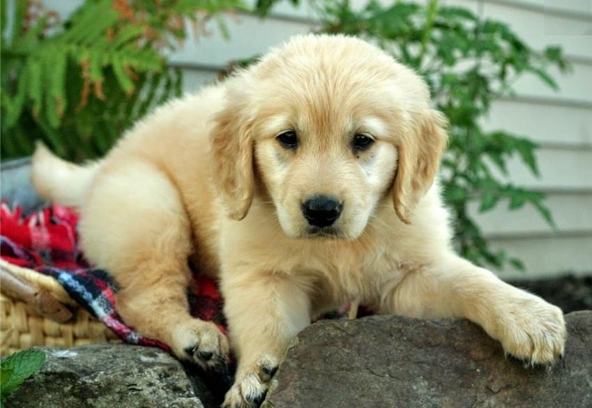 Golden Retriever Puppies South Carolina Craigslist - Puppy ...