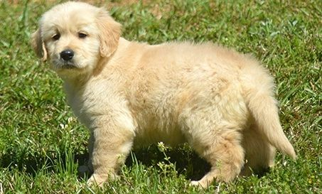 Golden Retriever Puppies For Sale Houston Tx 246621