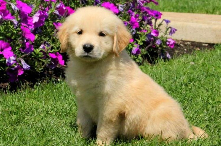 Golden Retriever Puppies For Sale Panacea Fl 250205