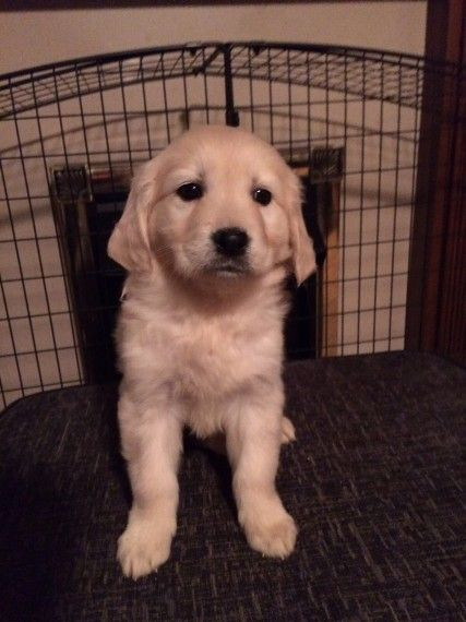 Golden Retriever Puppies For Sale Los Angeles Ca 251205
