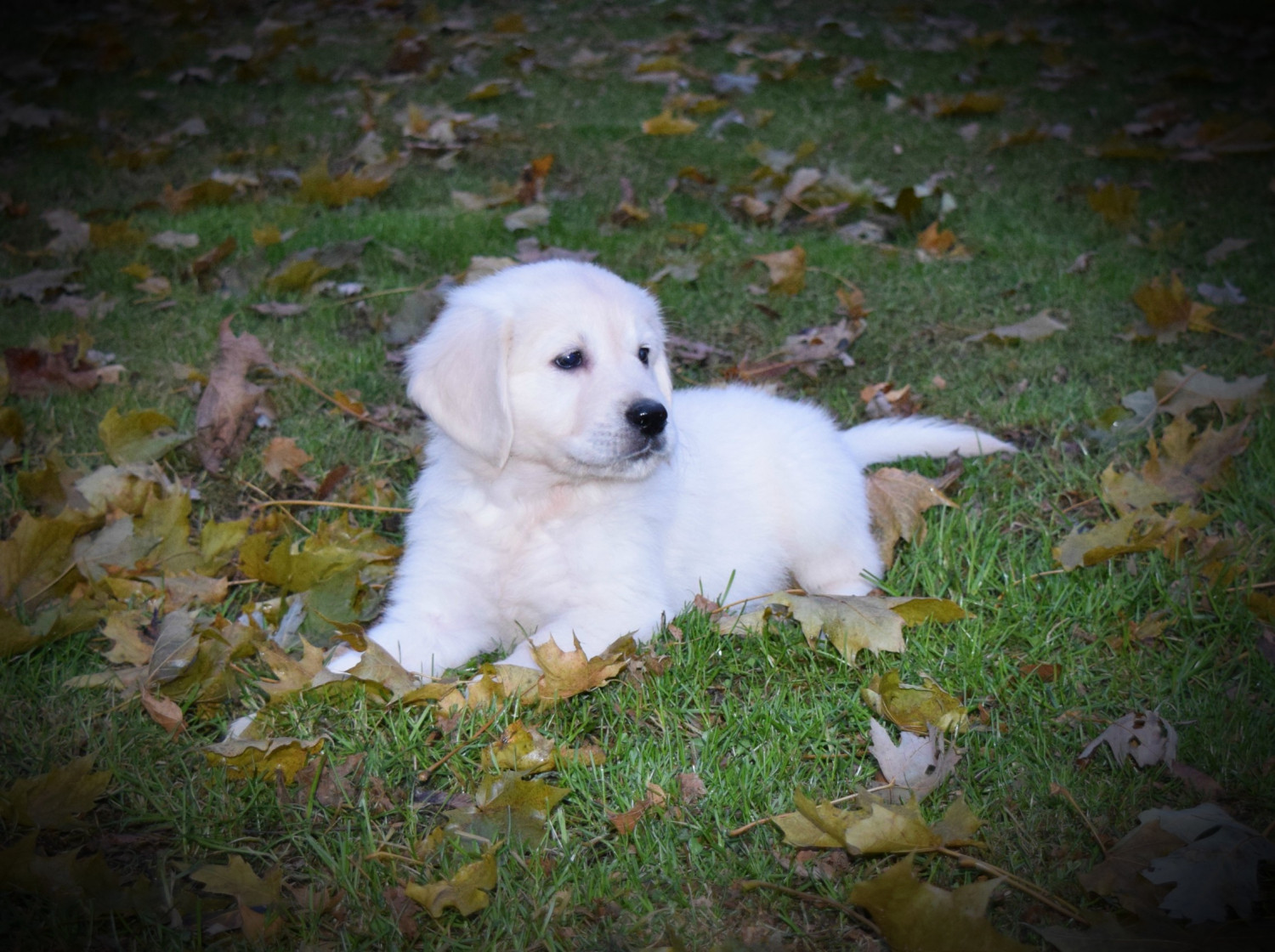 Golden Retriever Puppies For Sale | Janesville, WI #252634