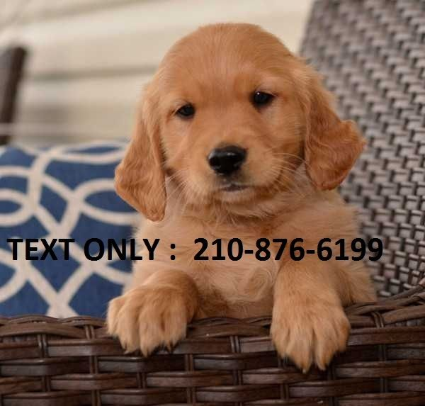 Golden Retriever Puppies For Sale Los Angeles Ca 253621