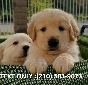 Golden Retriever Puppies For Sale Minneapolis Mn 255959
