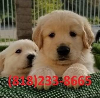Golden Retriever Puppies For Sale Madison Wi 256069