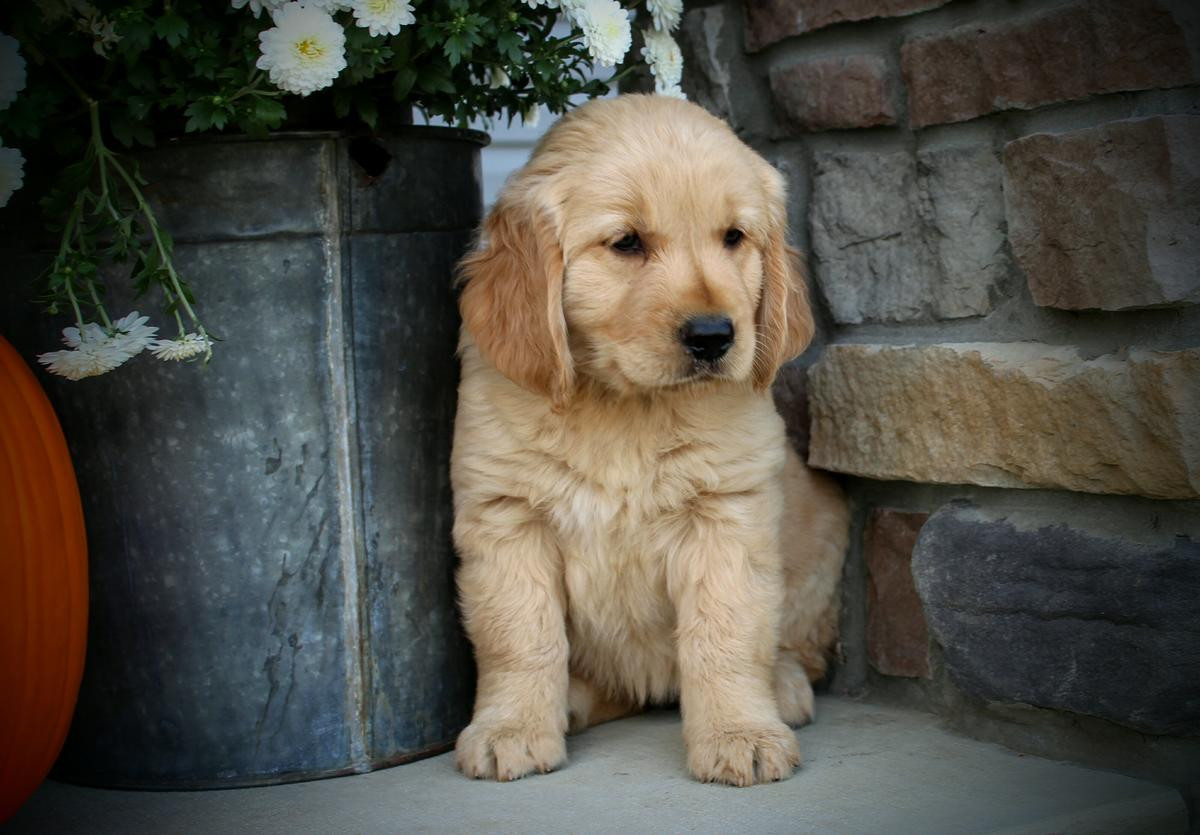 Golden Retriever Puppies For Sale In Los Angeles