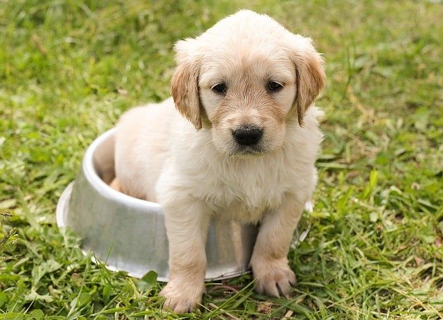 golden retriever puppies for sale dallas tx 267519