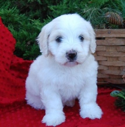 Golden Retriever Puppies For Sale Stamford Ct 268256