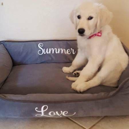 Golden Retriever Puppies For Sale Central Sacramento Ca 270967