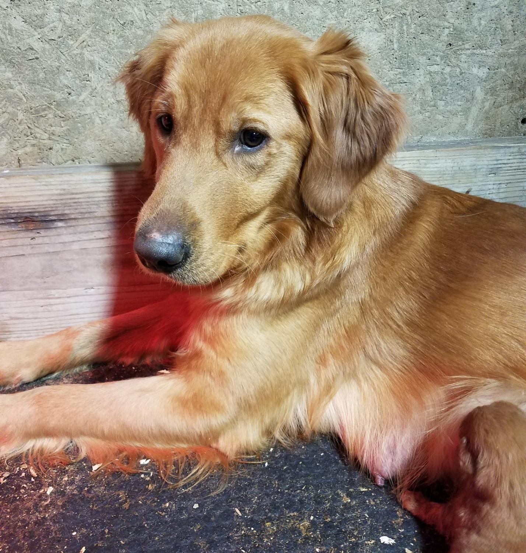 Golden Retriever Puppies For Sale Waynesfield Oh 272102