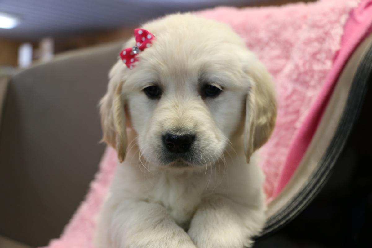 Golden retriever puppies for sale columbus oh 272823 for Golden retriever puppies information